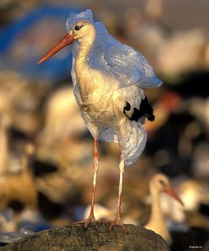 You Will Want To Recycle Everything After Seeing These Photos! - A Stork Trapped In Plastic