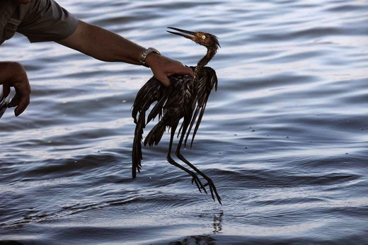You Will Want To Recycle Everything After Seeing These Photos! - Bird In Oil Spill (1)
