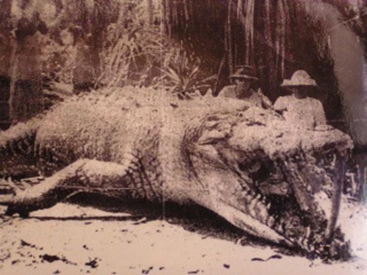 Największy krokodyl jakiego widziano - 8.6 m, zastrzelony przez Krystynę Pawłowską w Australii w 1957 r. (później żałowała zabicia takiego osobnika)