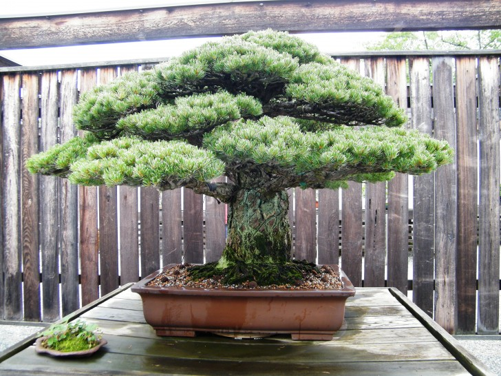 To śliczne drzewko bonsai (a dokładniej sosna drobnokwiatowa) ma nie tylko niemal 400 lat, ale do tego przetrwało upadek bomby atomowej w Hiroszimie