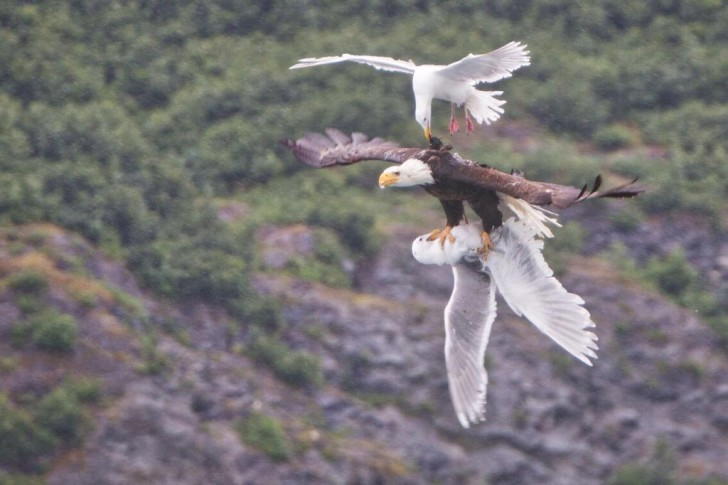 eagleseagulls