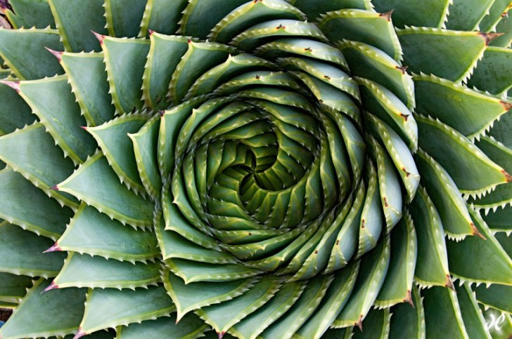 spiral-aloe-polyphylla-large
