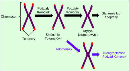 telomere-pl