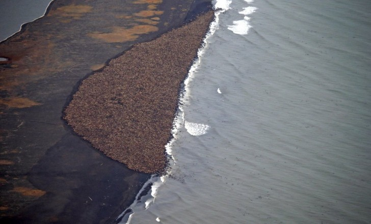 about-35000-walruses-suddenly-and-surprisingly-gathered-together-in-one-place-on-the-alaskan-coast-in-october