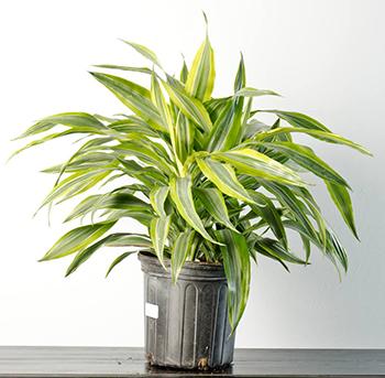 dracaena-warneckiei-plant
