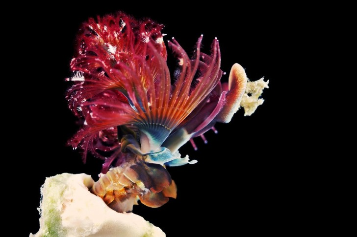 in-2015-biologist-alexander-semonov-will-head-up-the-aquatilis-expedition-an-around-the-world-journey-documenting-never-before-seen-marine-life-heres-a-shot-he-took-of-one-of-two-known-speci