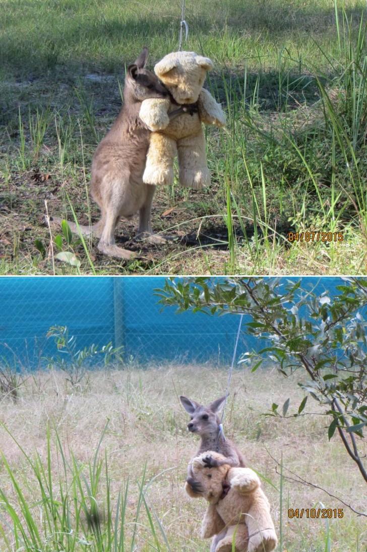 Mały osierocony kangurek znajdujący pocieszenie w pluszowym misiu