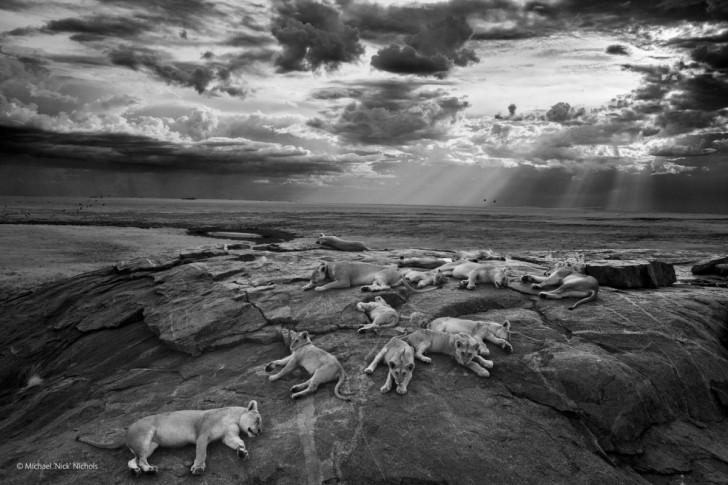 michael-nick-nichols-won-the-grand-prize-at-londons-natural-history-museums-2014-wildlife-photographer-of-the-year-competition-with-this-black-and-white-photo-of-snoozing-lions-in-tanzanias-