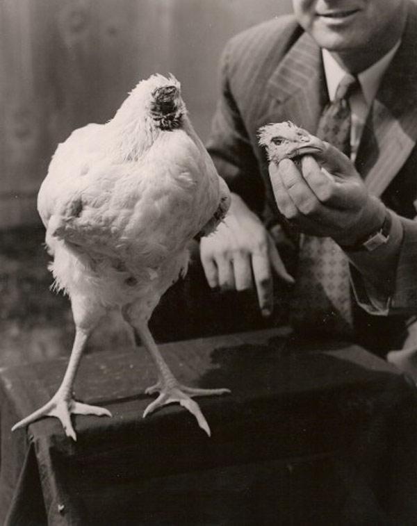 mike-bezglowy-kurczak-3