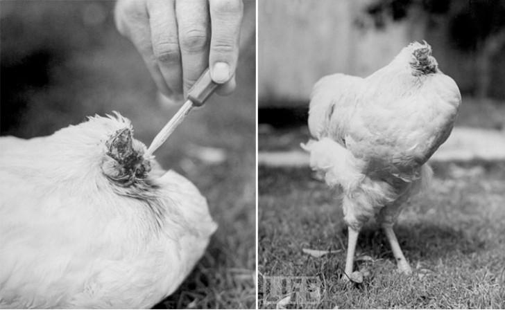 Bezgłowy Mike – czyli historia niezwykłego kurczaka