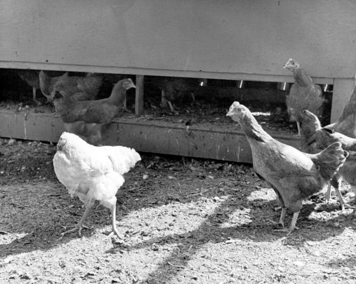Mike the headless chicken in his Colorado barnyard, with fellow chickens, 1945.