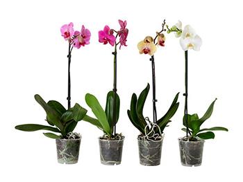 phalaenopsis-potted-plant__0187960_PE340924_S4