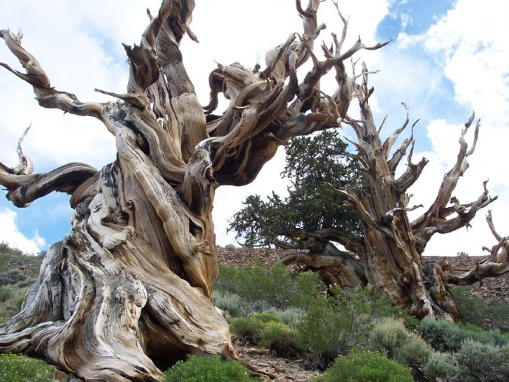 the-oldest-tree-on-the-planet-39804