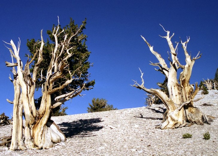 the-oldest-tree-on-the-planet-44634