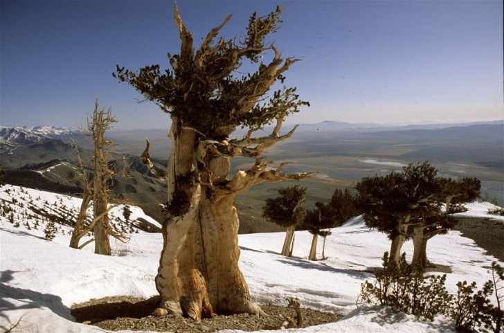 the-oldest-tree-on-the-planet-69772