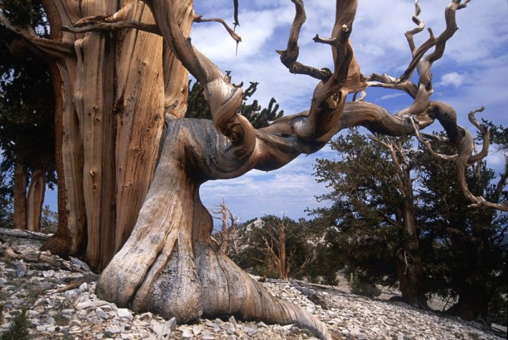the-oldest-tree-on-the-planet-78073