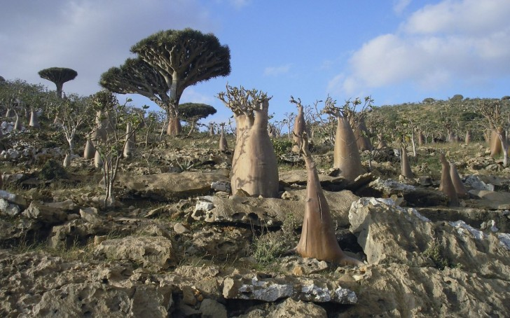 the-tiny-yemeni-archipelago-of-socotra-has-very-unique-plant-life-a-third-of-which-can-be-found-nowhere-else-in-the-world