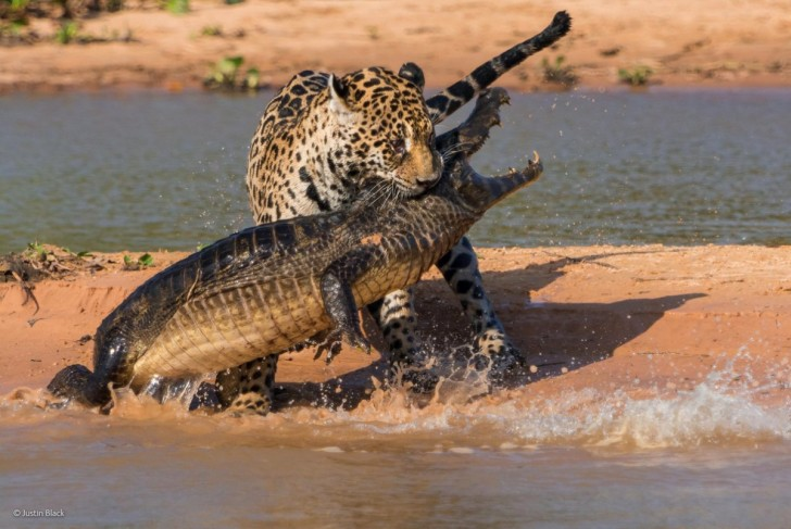 this-photo-titled-apex-predators-by-justin-black-was-one-of-the-top-photos-from-the-bbc-photographer-of-the-year-competition-black-shot-this-in-the-wetlands-of-the-brazilian-pantanal