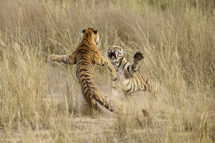 this-shot-muscle-power-by-archna-singh-shot-in-the-bandhavgarh-national-park-in-madhya-pradesh-india-was-an-honorable-mention-in-the-2014-national-geographic-photo-contest