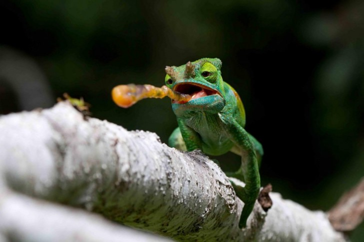 this-shot-of-a-colored-parsons-chameleon-at-andasibe-mantadia-national-park-in-madagascar-was-a-finalist-in-the-nature-conservancys-photo-contest