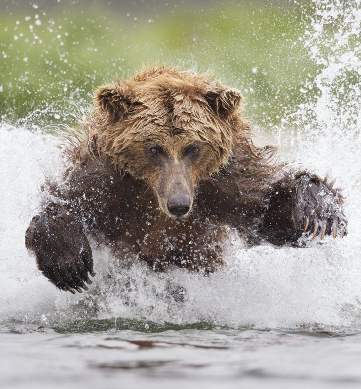 tin-man-lee-won-the-smithsonians-natures-best-photography-competition-with-this-shot-from-alaskas-katmai-national-park-of-a-grizzly-bear-pouncing-through-icy-waters