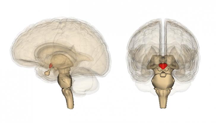 Hypothalamus_image