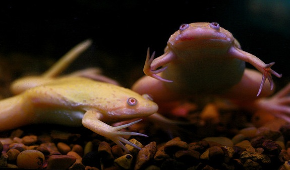 african-frogs