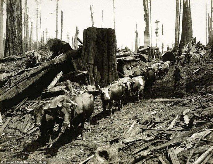 lumberjacks-redwood-12