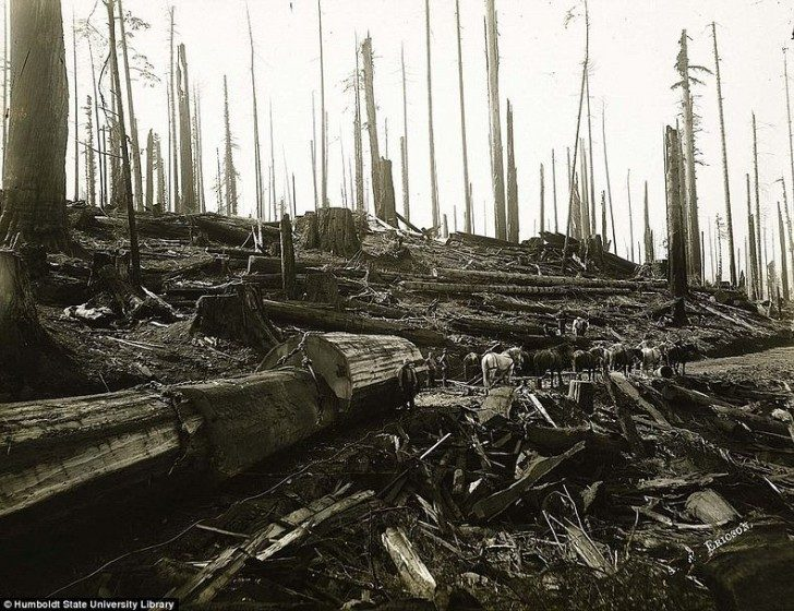 lumberjacks-redwood-22
