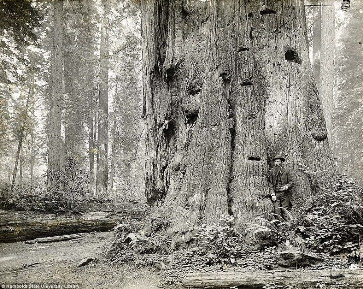 lumberjacks-redwood-45