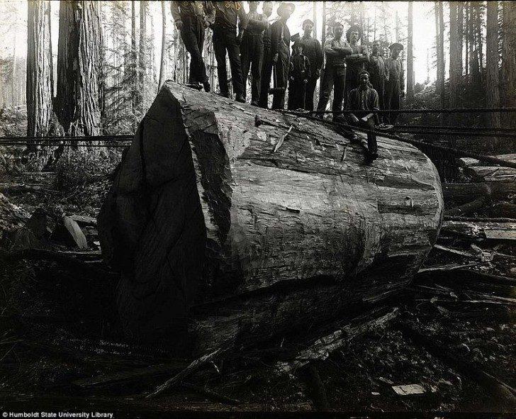 lumberjacks-redwood-55