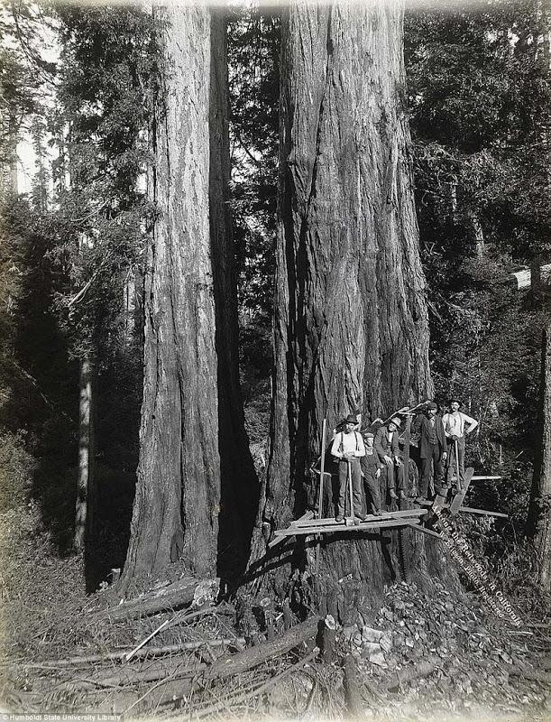 lumberjacks-redwood-65