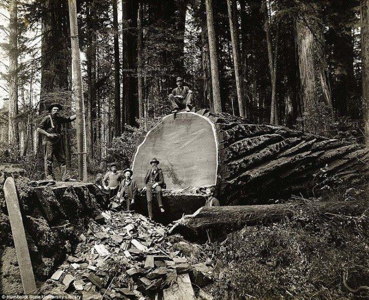 lumberjacks-redwood-76