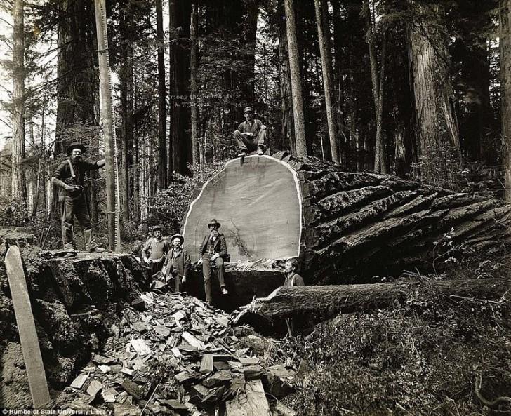 Kalifornijscy drwale - czyli jak wycięto największe drzewa Ameryki