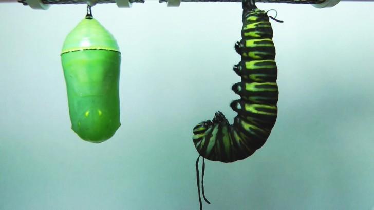 Magia natury - przemiana z poczwarki w motyla