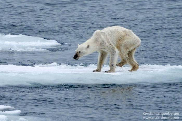 photo-of-starving-polar-bear-brings-the-future-of-the-arctic-into-question-17841
