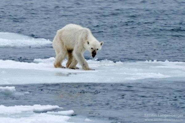 photo-of-starving-polar-bear-brings-the-future-of-the-arctic-into-question-34226-600x399