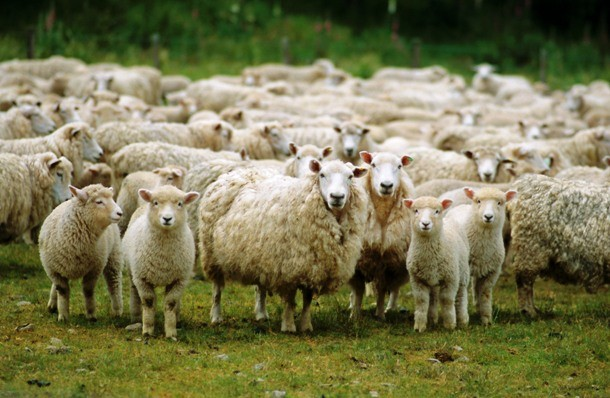sheep-05-610x398