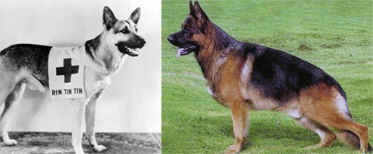 Achondroplastic Dog Breeds