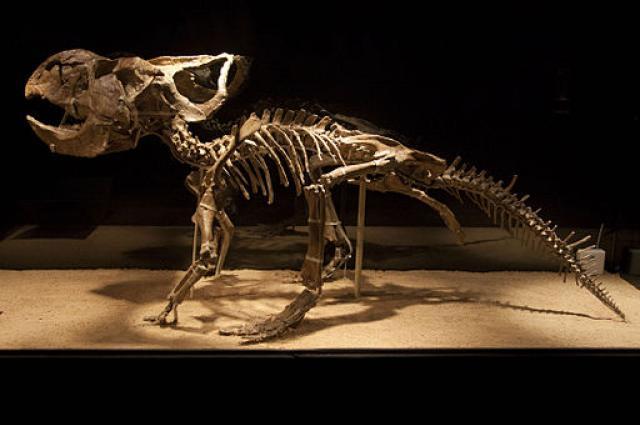 512px-Protoceratops_mount_0