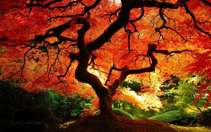 Fall-Tree-HD-Wallpaper