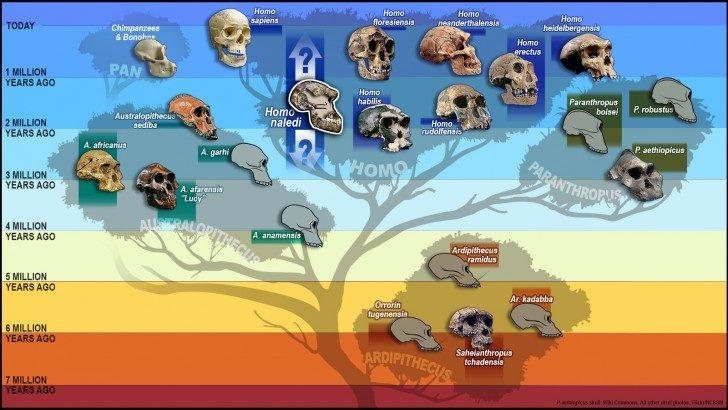 hominid tree skulls