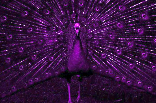 purple peacock
