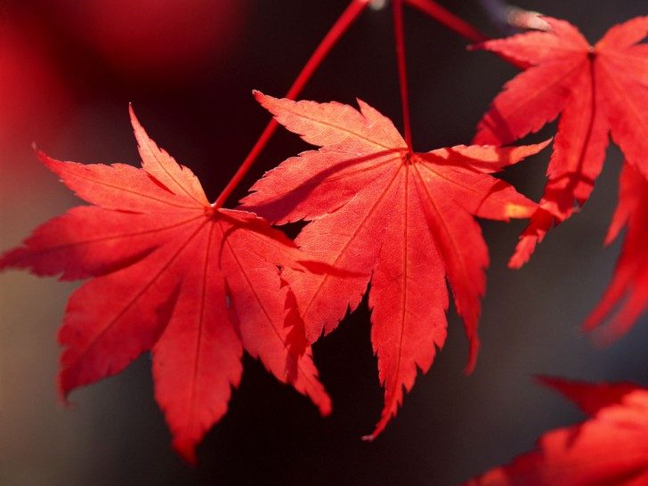 red-leaves-321-8
