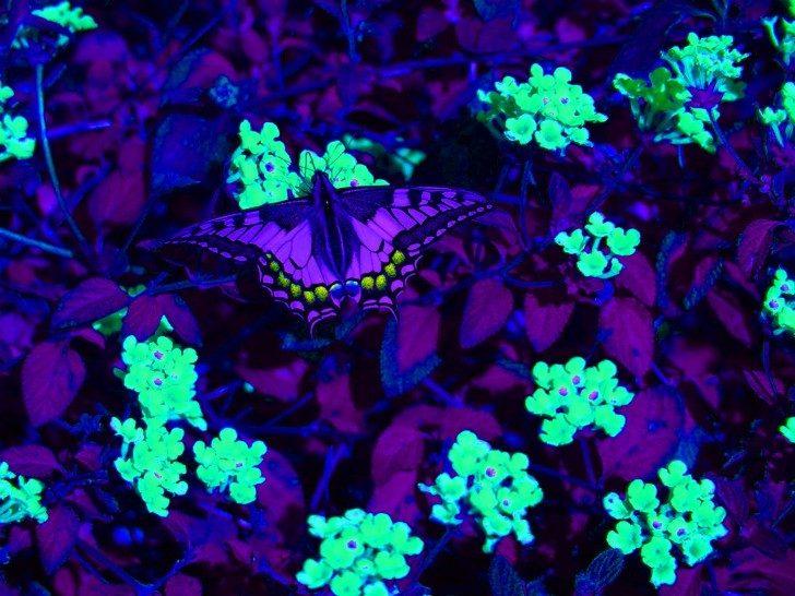 ultraviolet butterfly