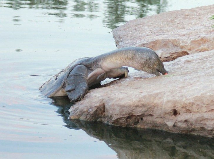 800px-African-Softshell-Turtle-Eating---Alexander-river---Israel