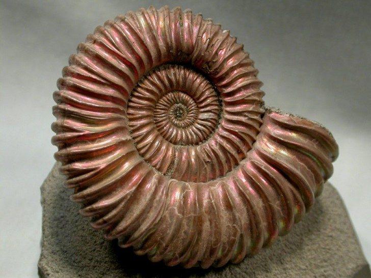 Ammonite-5-1024