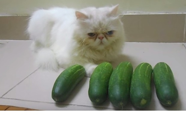 Cats_v_cucumbers_3505547b