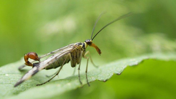 Scorpion_Fly_(male)_(9057482915)