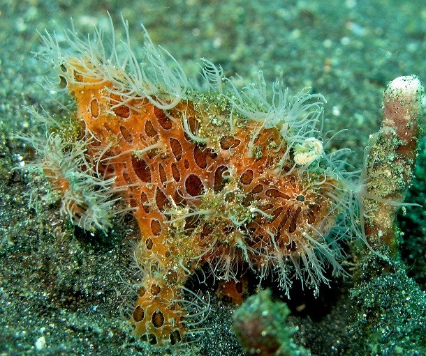 juvenile-hairy-frogfish-610x511